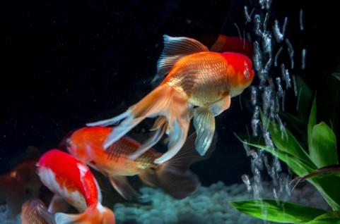 倫理的に問題あり?巨大な金魚の育て方