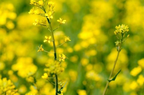 白菜、キャベツ、大根…が育たない原因はコレかも?アブラナ科の野菜一覧
