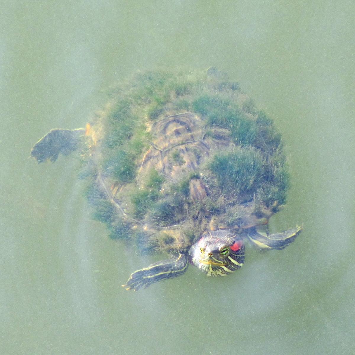 昔から縁起が良いと言われる『蓑亀(みのがめ)』の無料写真