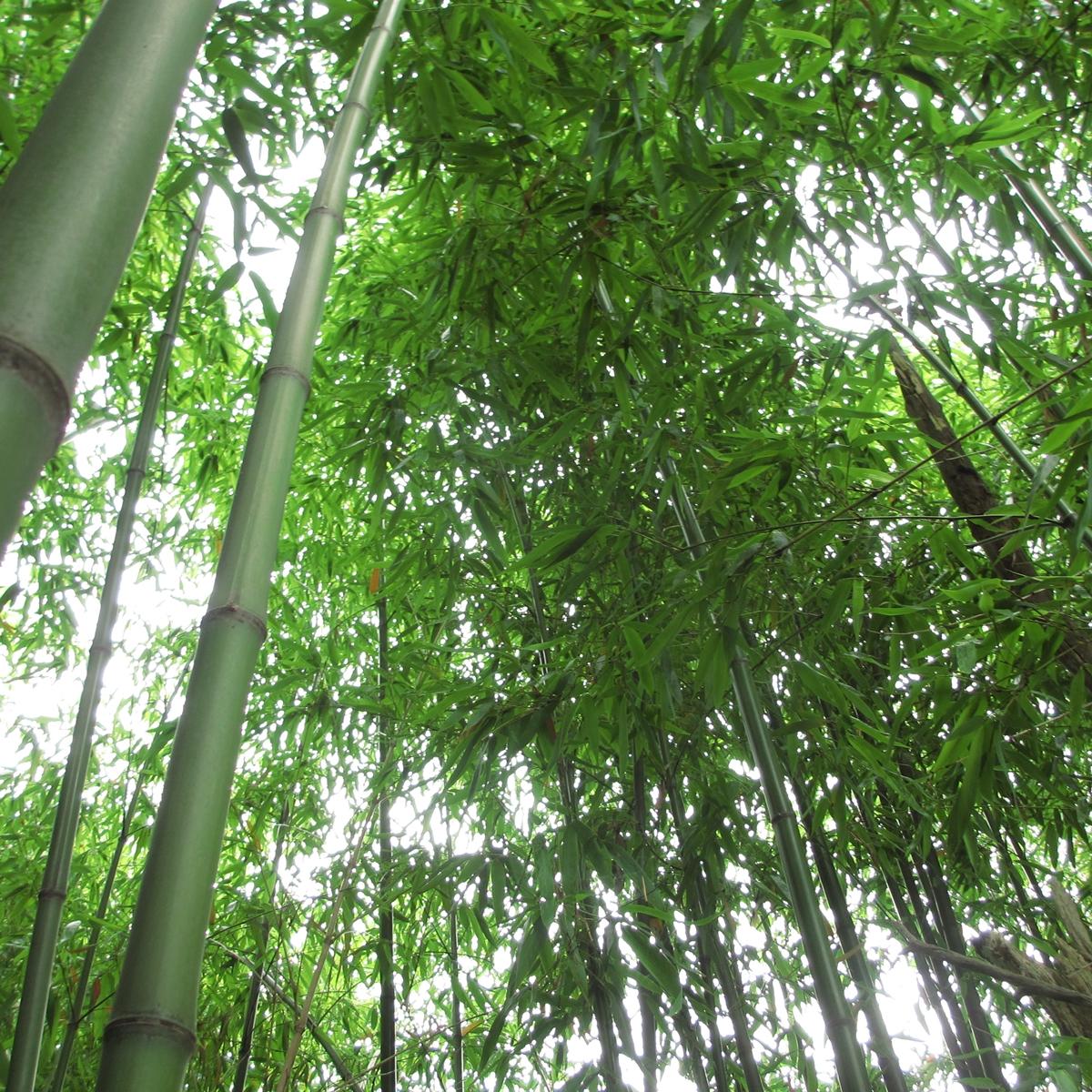 七夕の竹が直ぐに枯れる原因と笹を長持ちさせる方法