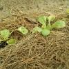 10月半ば過ぎたら遅いかも?秋白菜の苗の植えつけと種まき