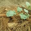 秋キャベツ植え付け一週後。