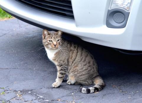 冬は要注意!猫がエンジンルームへ入り込む可能性大!
