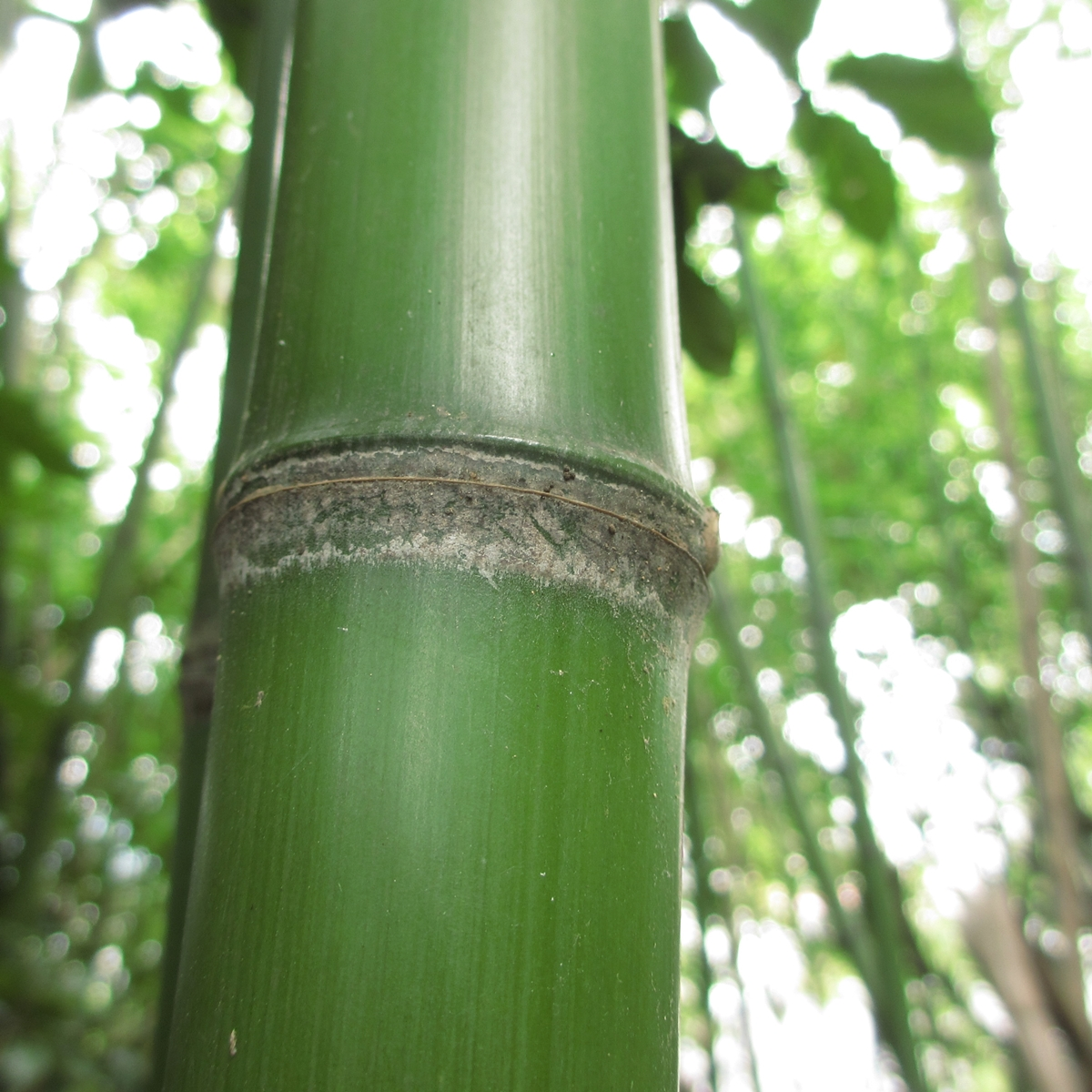 竹のフリー写真20150630 (15)
