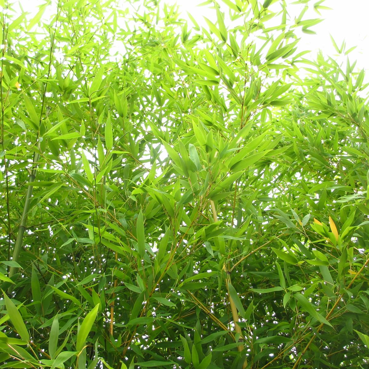 竹のフリー写真20150630 (3)