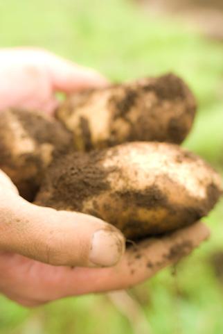 自家栽培でじゃがいもを大きく育てる為の3つのポイント