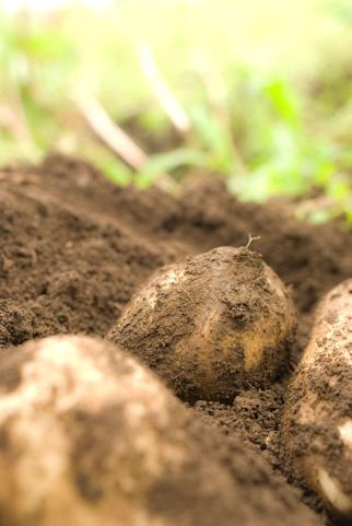 自家菜園で作りやすい!秋のジャガイモ植え付け方と猪対策